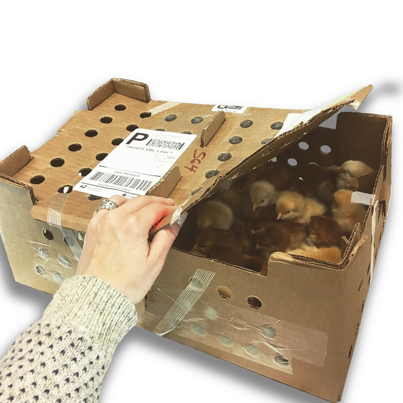 thùng carton đựng gà con